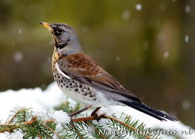 ansichtkaart kramsvogel kaart, bird postcard Fieldfare in winter, Vogel Postkarte Wacholderdrossel