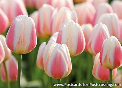 ansichtkaart tulpveld kaart - Field with tulips postcard - blumen Postkarten Tulpe