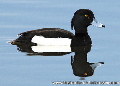 ansichtkaart kuifeend kaart, bird postcard Tufted duck, postkarte vögel Reiherente