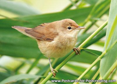 ansichtkaarten vogels Bosrietzanger, bird postcard Marsh warbler, Vögel Postkarte Sumpfrohrsänger