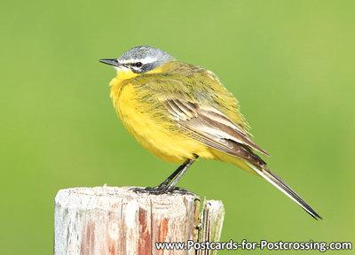 vogelkaart, Gele kwikstaart - bird postcardWestern yellow wagtail - Vögel Postkarte Schafstelze