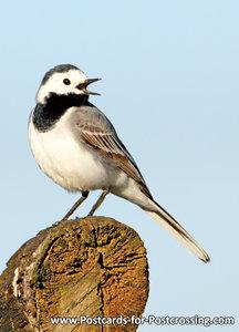 vogelkaarten, ansichtkaarten vogels Witte kwikstaart - bird postcardWhite wagtail - Vögel Postkarte Bachstelze