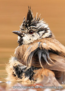 vogelkaarten ansichtkaart Kuifmees kaart, bird postcard European crested tit, Postkarte waldvögelHaubenmeise