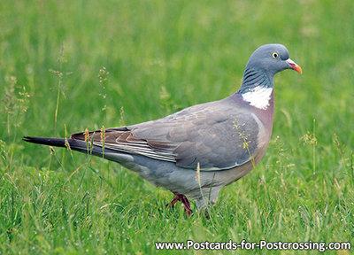 ansichtkaartvogel kaart houtduif - bird postcard Common wood pigeon - Vögel postkarte Ringeltaube
