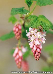 ansichtkaart ribes kaart - flower postcards ribes - Blume Postkarte Johannisbeeren