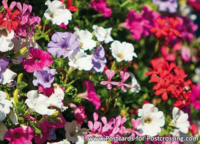 Bloemenbak met geraniums en Petunia's kaart / ansichtkaart