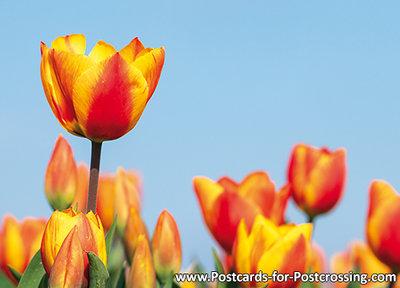 rood gele tulpen kaart