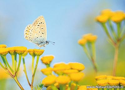 Icarusblauwtje kaart - Prachtige postkaart / ansichtkaart van een Icarusblauwtje