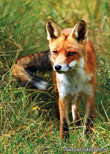 ansichtkaart vossen kaart, fox postcard, Postkarte Fuchs