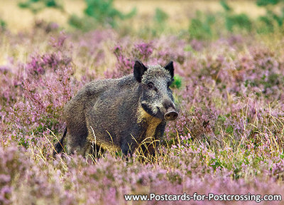 dierenkaarten, ansichtkaarten wilde dieren Everzwijn, postcards wild animals Wild boar, Postkarte Wildschwein