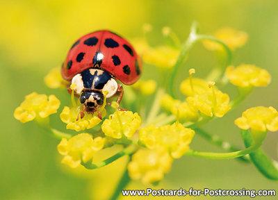 ansichtkaart Lieveheersbeestje - Lady beetle postcard  - Postkarte / Ansichtskarte Marienkäfer
