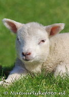 Kaart lammetje, ansichtkaart Lammetje, animal postcards lamb, Tier postkarte Lamm