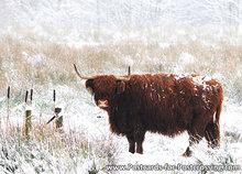 dierenkaarten Schotse Hooglander, animal postcard Highland cattle, Postkarte Tiere Scottische Hochlandrind