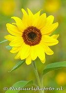 bloemen kaarten, ansichtkaart zonnebloem - Sunflower postcard - blume Postkarte Sonnenblume