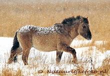 goedkope kerstkaarten kopen, ansichtkaart Konikpaard, Konik horse postcard, Postkarte Konik Pferd